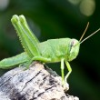 Stock Photo: Green grasshopper nymph