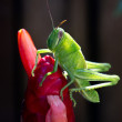 Green grasshopper nymph — Stockfoto #37021529