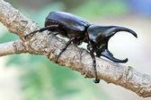 Fighting beetle (rhinoceros beetle) — Стоковое фото