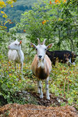 Goats in the bush — Stock Photo