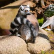 Lemur_nu and whatever else — Stock Photo