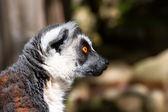 Lemur_slushayu you carefully — Stock Photo