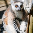Lemur sitting on a tree — 图库照片