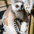 Foto Stock: Lemur sitting on a tree