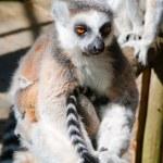 Lemur zittend op een boom — Stockfoto