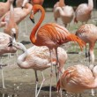 Several flamingos — Stock Photo