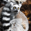Lemur eyes wide open — Stock Photo #36735067
