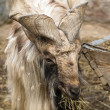 Stock Photo: Goat with big horns helical