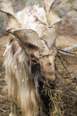 Goat with big horns helical — Stock Photo