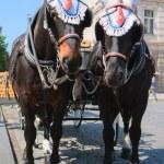 Elegant horses harnessed in stroller — Stock Photo #6044127