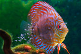 Baby discus fish swimming in aquarium — Stock Photo