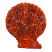 Sea shell on white background — Photo
