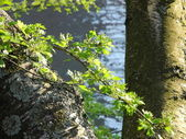 Close-up of a birch tree with fresh green leaves - Birken — Stock Photo