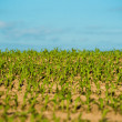 Crops field — Stock Photo