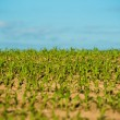 Stock Photo: Crops field