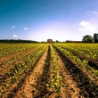 Stock Photo: Countryside field crops