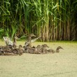 Stock Photo: Lake with ducks