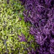 purple heather — Stock Photo
