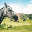 Grey horse isolated — Stock Photo