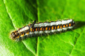 Acronicta Psi — Stock Photo