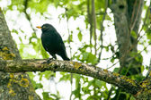 Blackbird in a tree — Stock Photo