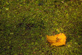Yellow maple leaf — Foto de Stock
