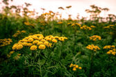 Tanacetum vulgare — Stock Photo