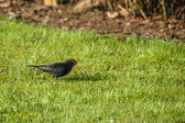 Blackbird looking for food on the lawn — Foto Stock