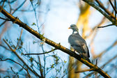 Pigeon sitting on a branch in the forest — Stock Photo