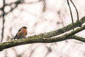 Chaffinch on a branch in the forest — Stock Photo