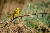 Yellowhammer sitting on a branch in nature — Stock Photo