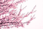 Pink cherry blossom tree at springtime — Stock Photo