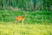 Cute deer on a green field — Stock Photo