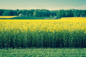 Yellow rapeseed field in retro colors — Foto Stock