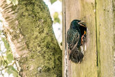 Sturnus vulgaris by a nest in a tree — Foto de Stock