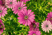 Violet Osteospermum in a green flowerbed — Stock Photo