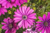 Pink Osteospermum in a garden — Stock Photo