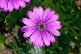 Purple Osteospermum flowerhead in a garden — Stock Photo