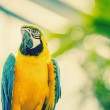 Beautiful blue and yellow macaw parrot — Stok fotoğraf #51416659