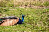Peacock ontspannen in het gras — Stockfoto