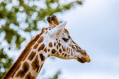 Giraffe with head in the trees — Stock Photo