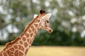 Young giraffe with slime in the mouth — Stock Photo