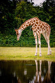 Giraffe looking into the water — Stock Photo