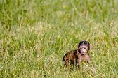 Berber baby monkey on a field — Stock Photo
