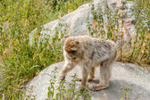 Berber monkey eating nettles — Stock Photo