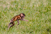 Berber baby monkey jumping in the grass — Stock Photo