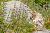 Berber monkey eating nettles on a rock — Stock Photo
