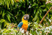 Macaw parrot in a rainforest — Stock Photo