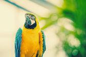 Perroquet belle ara bleu et jaune — Photo