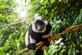 Ring-tailed lemur in a tree — Stock Photo